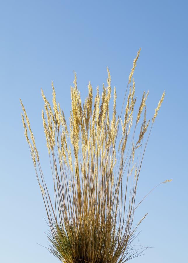 Wildes Getreidegras stockbild