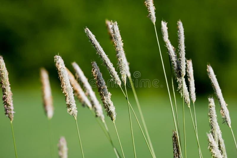Wildes Gras-Makro stockbild