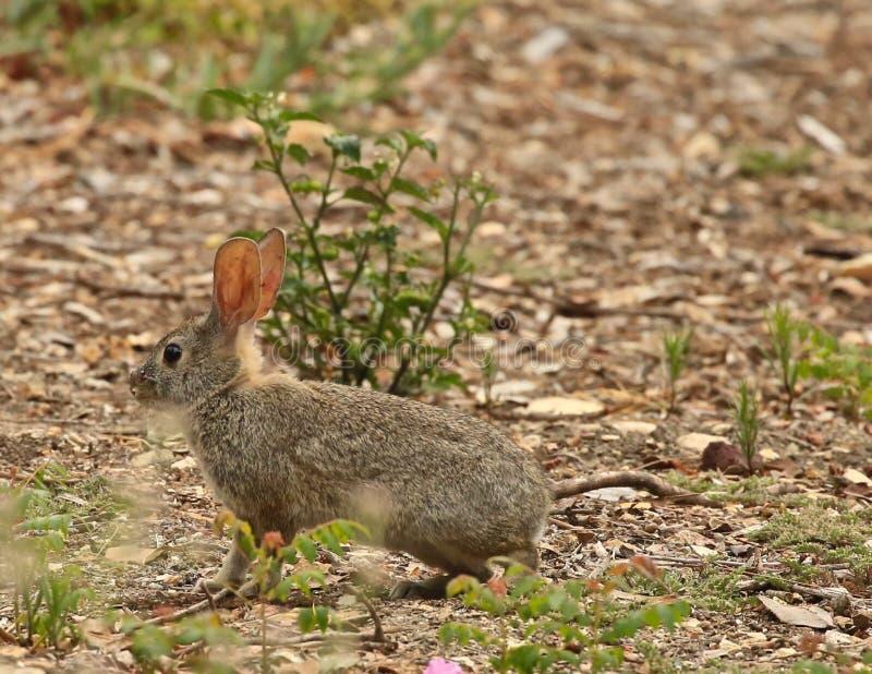 Wildes Häschen-Kaninchen lizenzfreie stockfotos