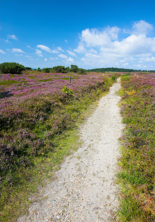 Wildes Heidekraut Und Spur - Dänemark Stockfoto