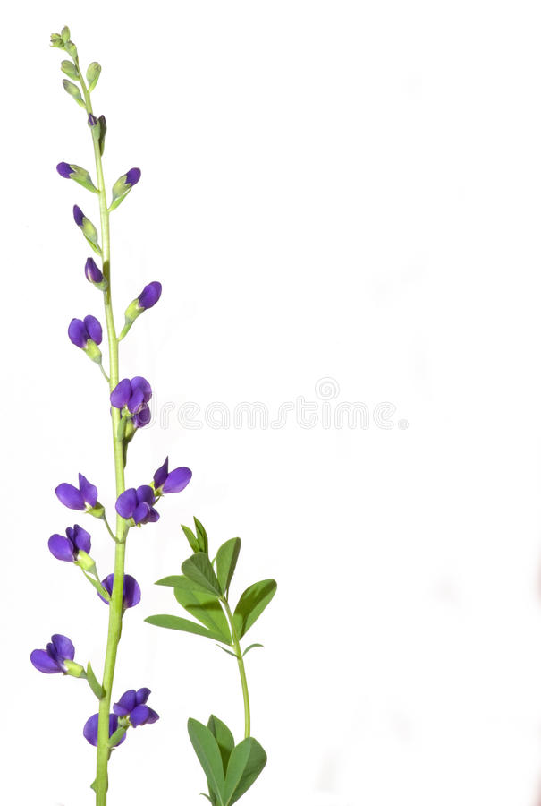 Wildes Indigo stockbild