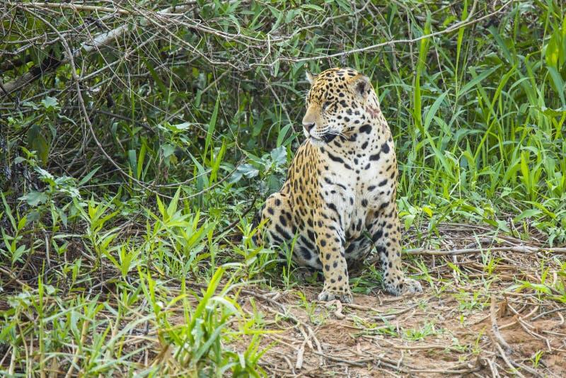 Wildes Jaguar, das in der Dschungel-Reinigung sitzt lizenzfreie stockfotos