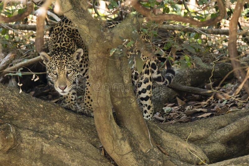 Wildes Jaguar, das durch verdrehten Baum-Stamm blickt lizenzfreies stockbild