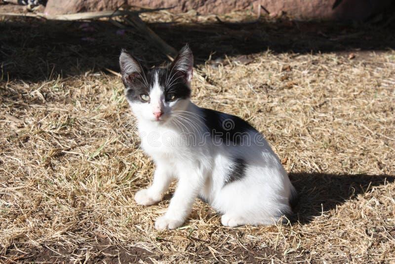 Wildes Kätzchen Schwarzweiss lizenzfreies stockfoto