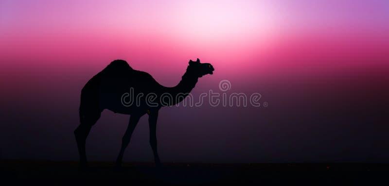 Wildes Kamel stockbild