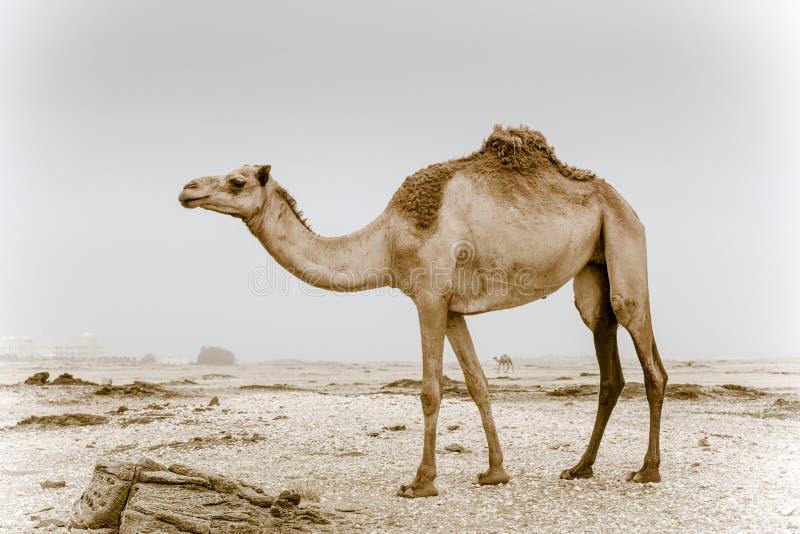 Wildes Kamel in Oman stockfoto