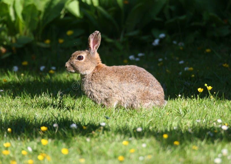 Wildes Kaninchen in der Gras-Wiese lizenzfreies stockbild