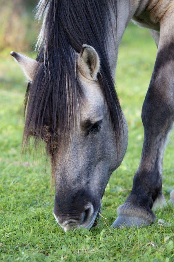 Wildes Konik-Pferd, das in der Natur weiden lässt lizenzfreies stockbild