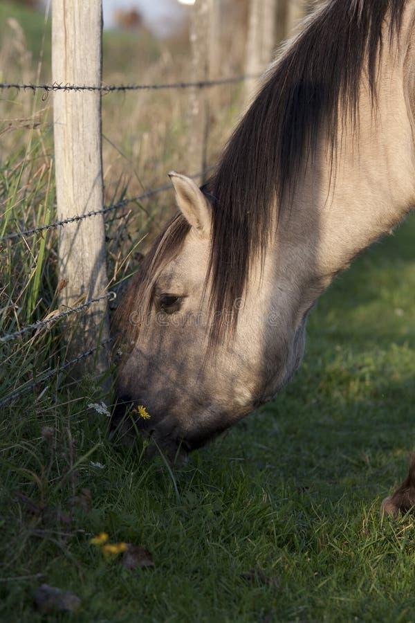 Wildes Konik-Pferd, das in der Natur weiden lässt stockbild