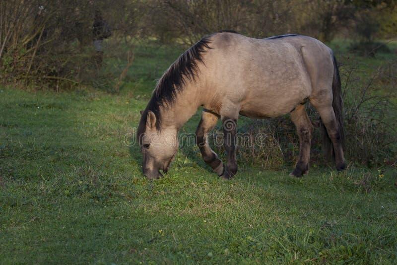 Wildes Konik-Pferd, das in der Natur weiden lässt lizenzfreies stockfoto