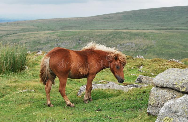 Wildes Leben in Nationalpark Dartmoor lizenzfreie stockfotografie