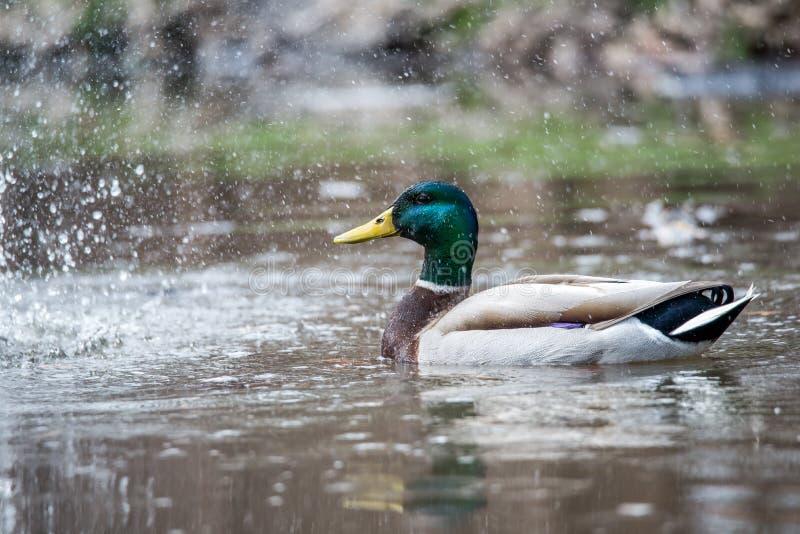 Wildes männliches Duck Mallard lizenzfreies stockbild
