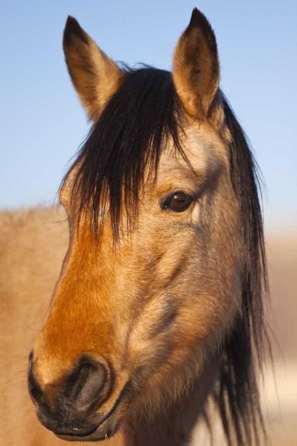 Wildes Mustang-Portrait stockfoto
