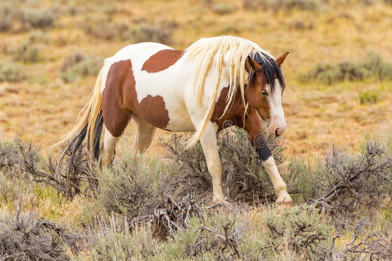 Wildes Mustangpferd stockfotos