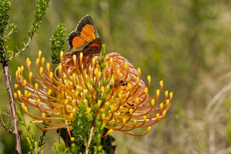Wildes Nadelkissen mit einem Schmetterling, der Blütenstaub saugt lizenzfreie stockfotos