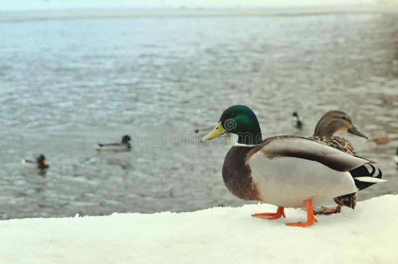 Wildes Naturleben, Fütterungsenten, gehend in Winterparkkonzept Zwei wilde Stockenten, die auf dem Pier bedeckt mit Schnee nahe r lizenzfreies stockfoto