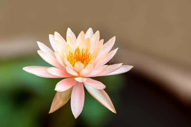 Wildes Nymphaea stellata oder Seerose oder Lotos ist Wasserpflanze a stockbilder