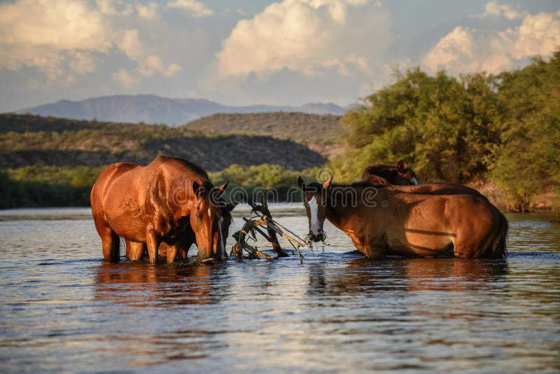 Wildes Pferd stockbilder