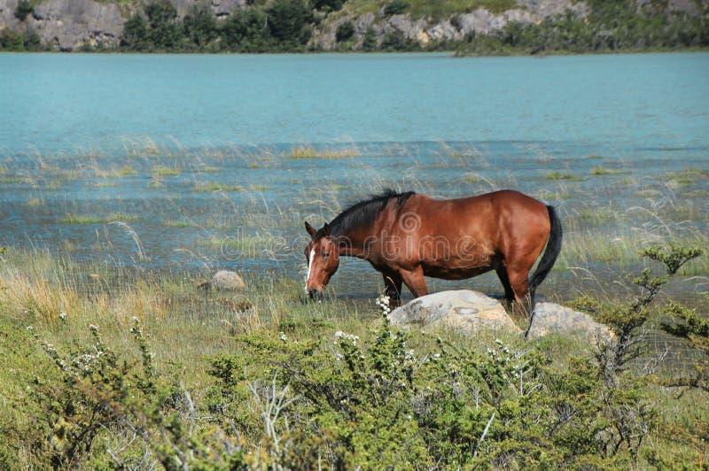 Wildes Pferd, das auf Gras, nahe dem See weiden lässt stockfotos