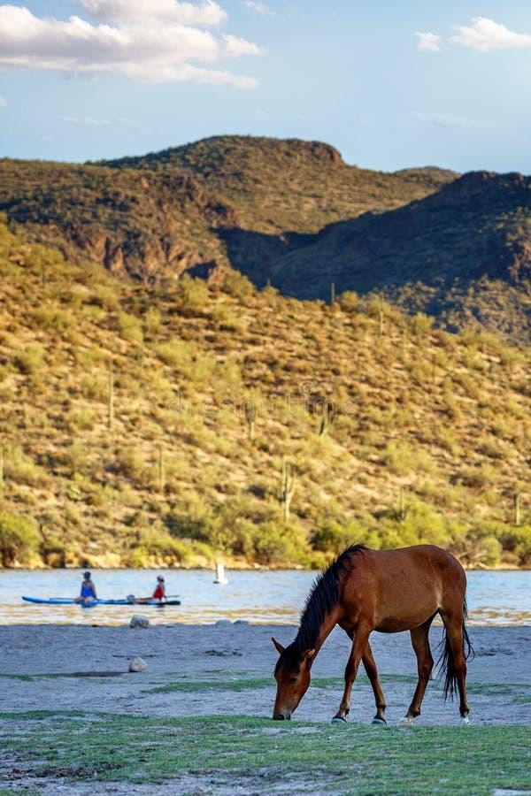 Wildes Pferd, das auf Ufer nahe Leuten weiden lässt stockfotos