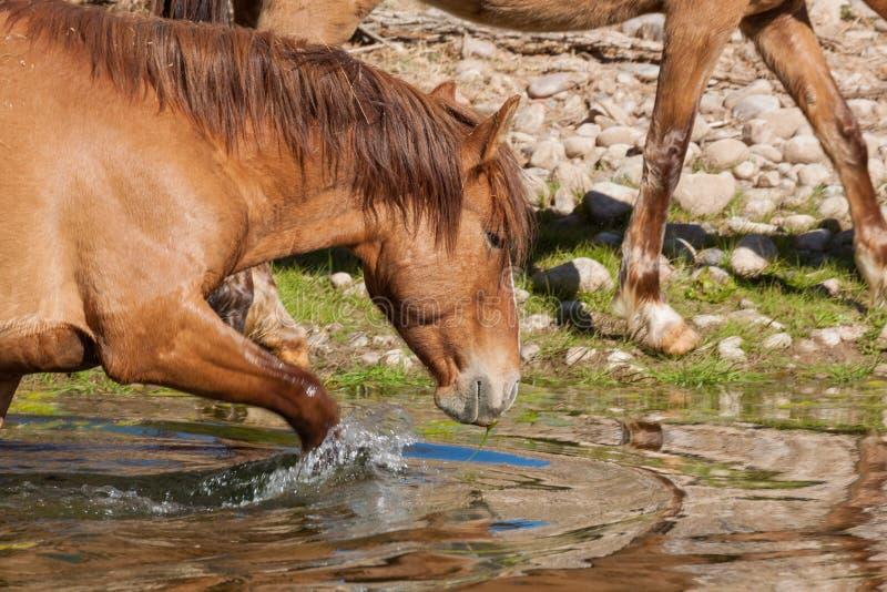 Wildes Pferd, das in den Salt River geht lizenzfreie stockbilder