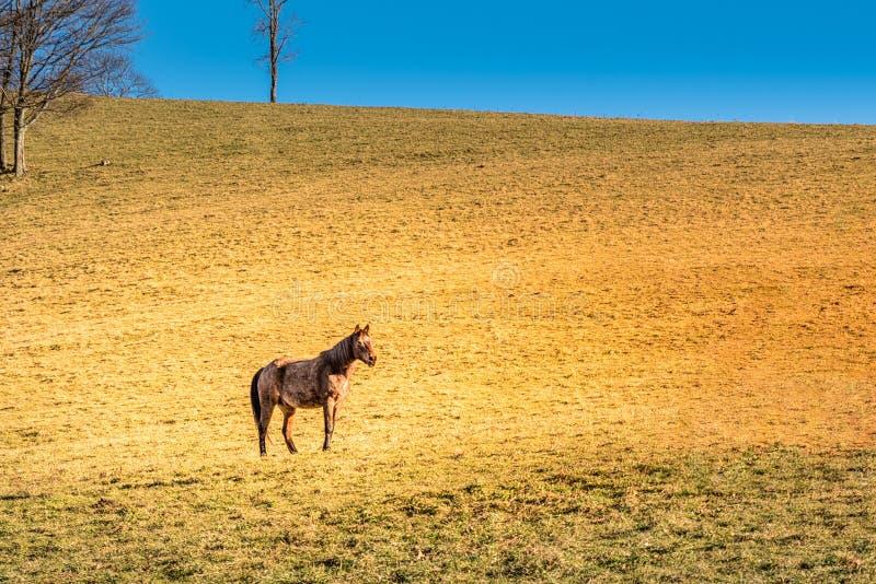 Wildes Pferd, das in Maggie Valley Mountains im North Carolina vorführt stockbild