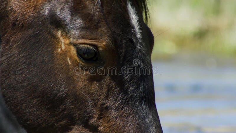 Wildes Pferd, gemalter Mustangabschluß oben des schönen blauen Auges Dayton, Nevada lizenzfreies stockbild