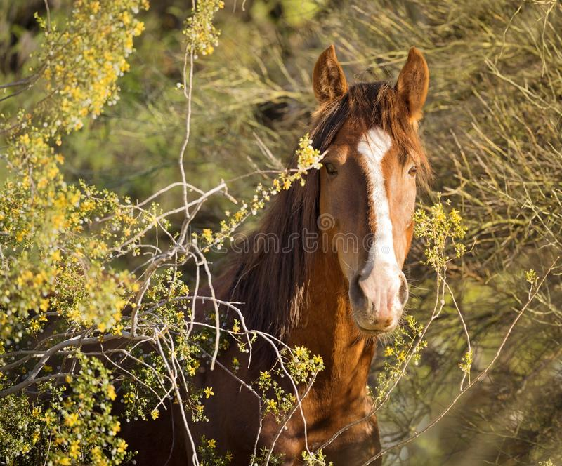 Wildes Pferd/Mustang - Porträt Salt River, Arizona stockbilder