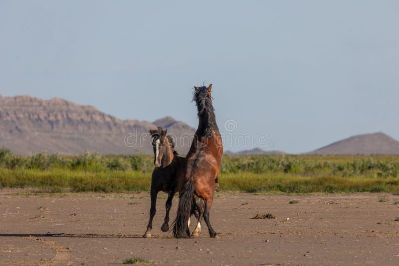 Wildes Pferd Stallionsk?mpfen stockbilder