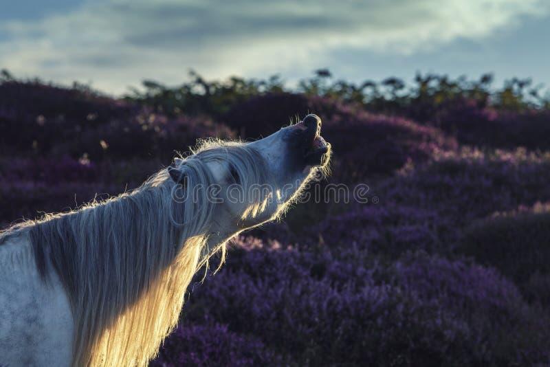 Wildes Pferdehengst-Schnüffelnluft, Flehmen-Antwort lizenzfreies stockfoto