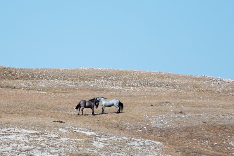 Wildes Pferdehengste, die in den Pryor-Bergen von Wyoming - Montana kämpfen lizenzfreie stockbilder