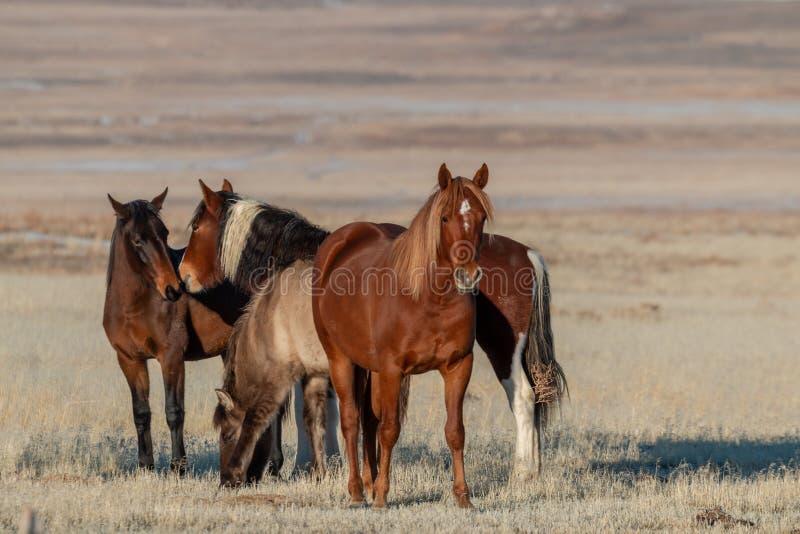 Wildes Pferdeherde in der Utah-Wüste im Winter stockbild