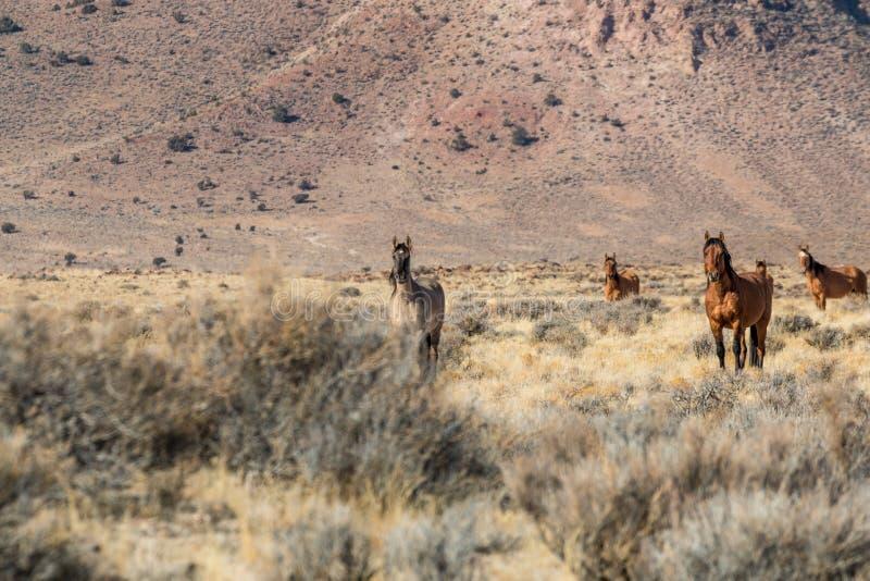 Wildes Pferdeherde in der Wüste stockfotos