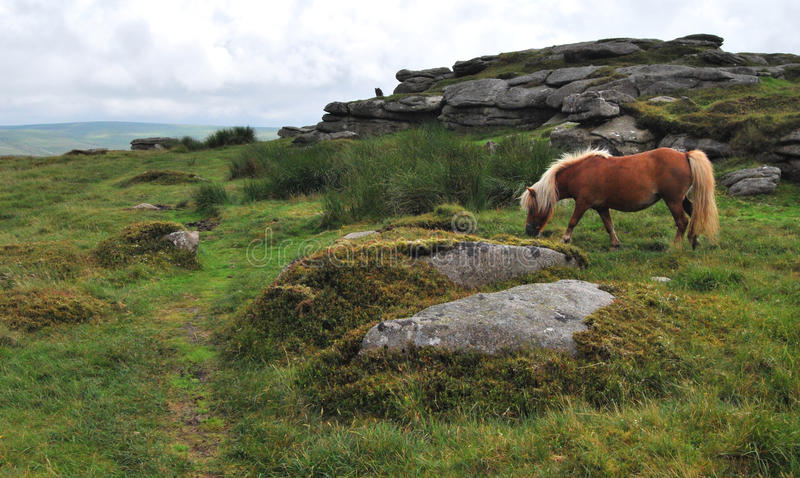 Wildes ponny in Nationalpark Dartmoor stockfotos