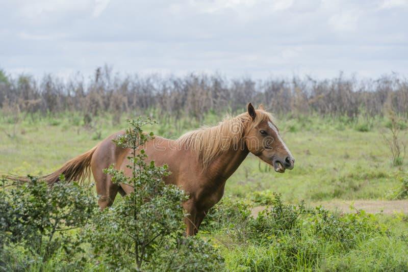 Wildes Pony stockfotografie