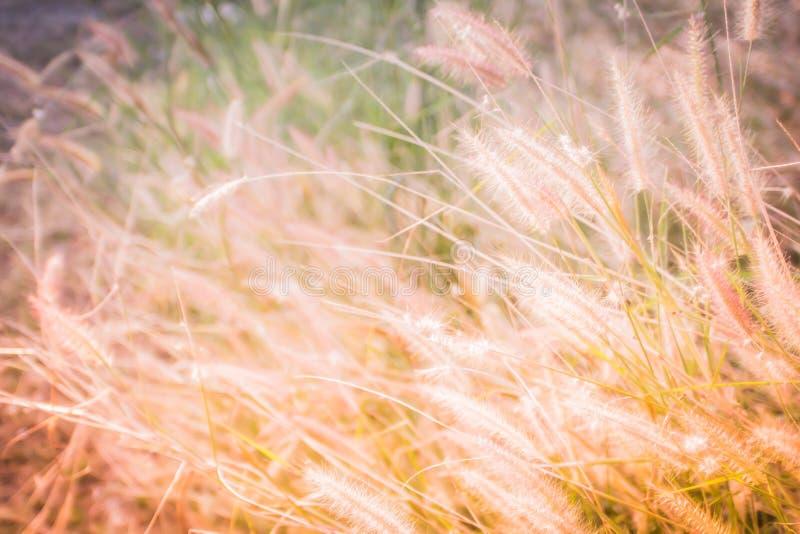 Wildes reifes Gras und Zweige, natürliche Feldanlagen, Goldfarbflorenelemente, schöne Naturlandschaft auf weißem Hintergrund stockfotos