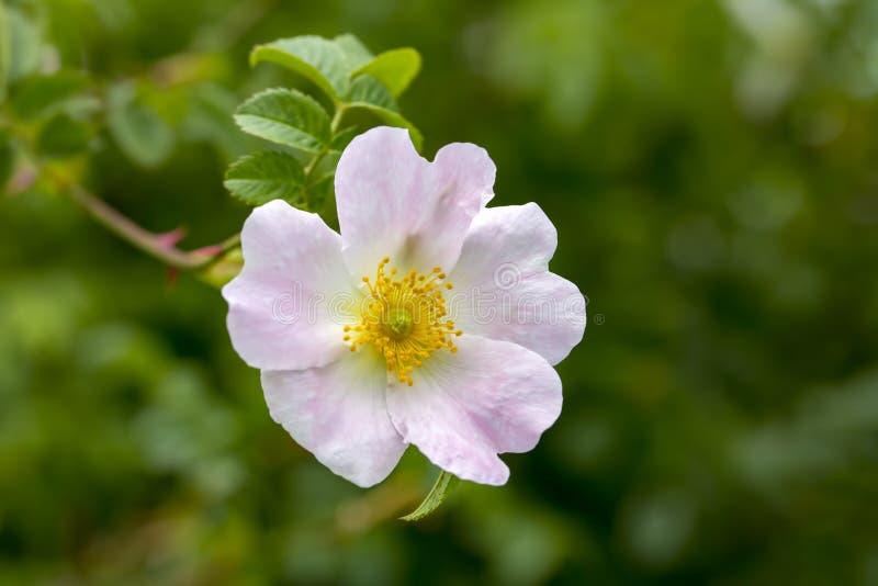 Wildes Rose Rosa-canina mit den offenen Blumenblättern im Frühjahr stockfotografie