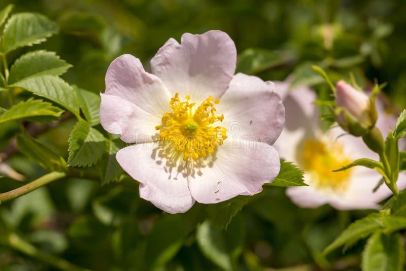 Wildes Rose Rosa-canina mit den offenen Blumenblättern im Frühjahr lizenzfreie stockbilder