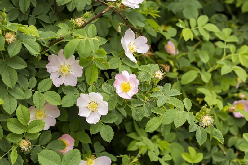 Wildes Rose Rosa-canina mit den offenen Blumenblättern im Frühjahr stockbild