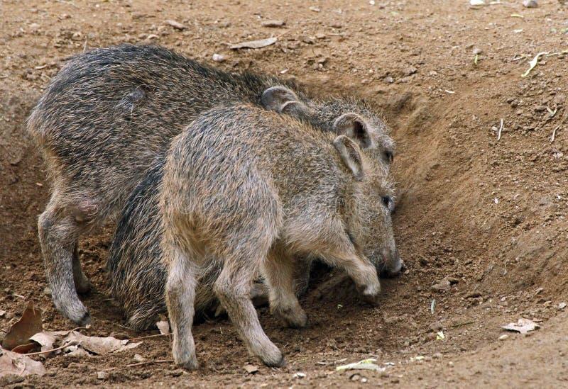 Wildes Schwein lizenzfreie stockfotos