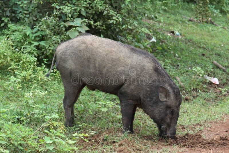 Wildes Schwein Sri Lankas stockfoto
