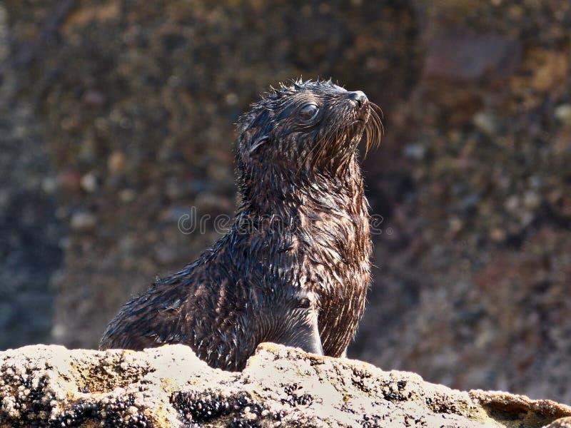 Wildes Seehundbaby, das den Sun an Wharariki-Strand, neues Zealan genie?t stockfotografie