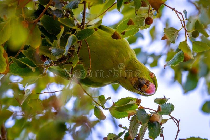 Wildes Sittiche Aratinga-acuticaudata auf Niederlassungen des Baums im Park Wildes Leben in der Stadt lizenzfreie stockfotografie