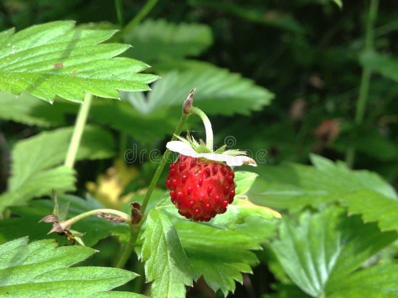 Wildes strawbrerry stockfoto