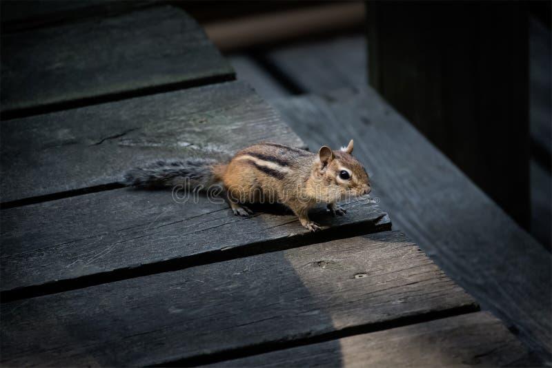 Wildes Streifenhörnchen auf einer Häuschenplattform stockfotos