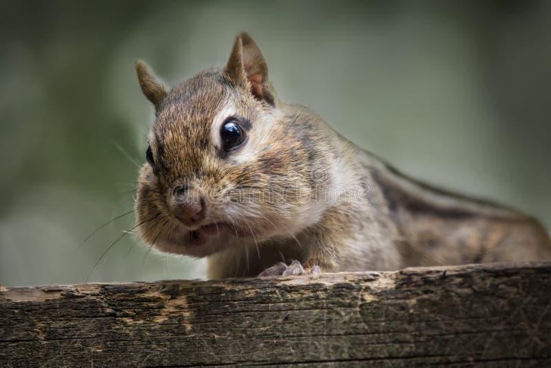 Wildes Streifenhörnchen auf einer Häuschenplattform lizenzfreie stockfotografie