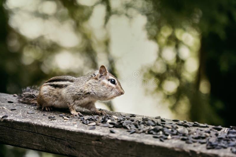 Wildes Streifenhörnchen auf einer Häuschenplattform, die Vogelfutter isst lizenzfreies stockbild