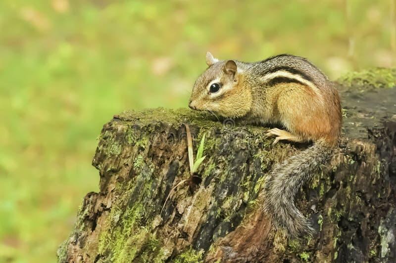 Wildes Streifenhörnchen auf Stumpf stockbilder