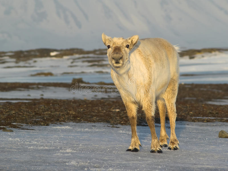 Wildes Svalbard-Renportrait stockfotos