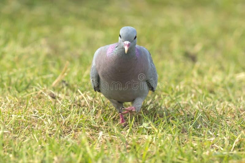 Wildes Taube Columba- liviadomestica gehockt auf einer grünen Wiese lizenzfreies stockfoto